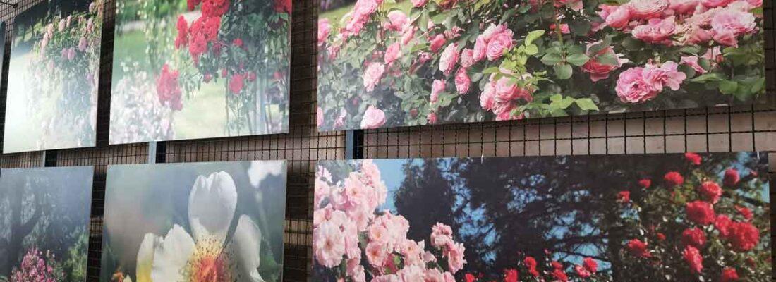 Razstava Vrtnice v sliki in besedi